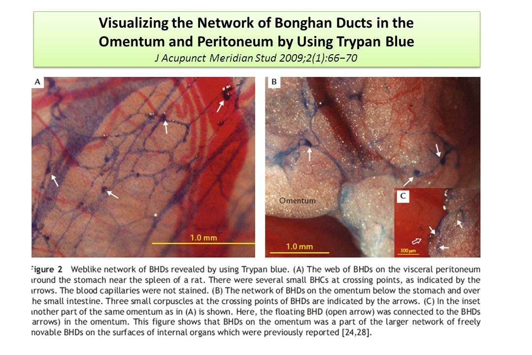 Visualizing the Network of Bonghan Ducts in the Omentum and Peritoneum by Using Trypan Blue J Acupunct Meridian Stud 2009;2(1):66−70