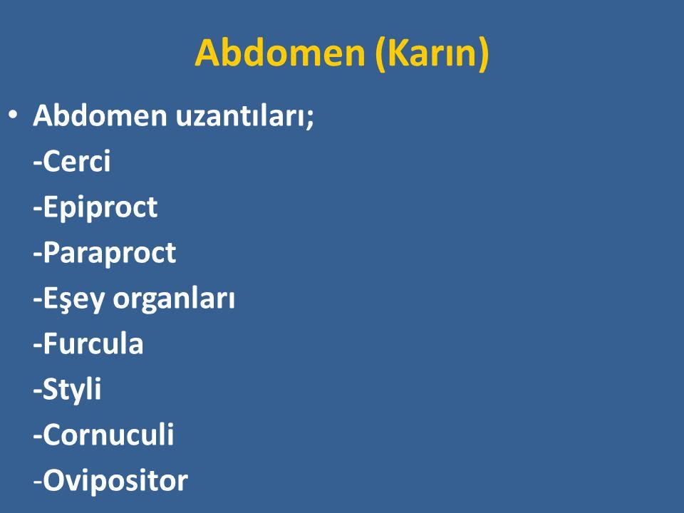 Abdomen (Karın) Abdomen uzantıları; -Cerci -Epiproct -Paraproct -Eşey organları -Furcula -Styli -Cornuculi -Ovipositor