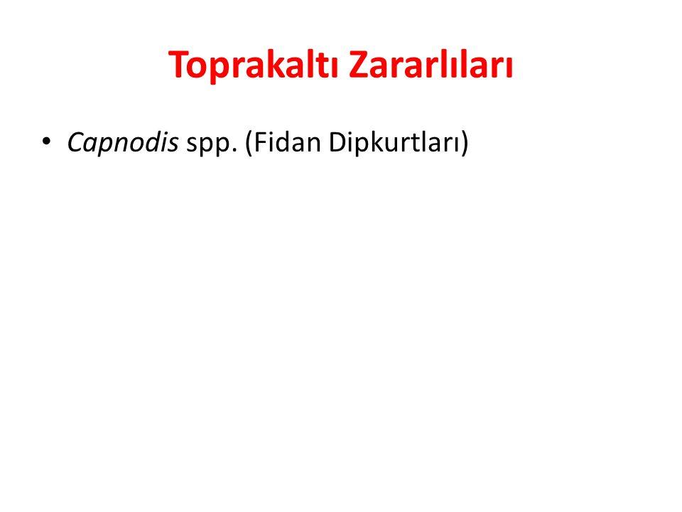 Toprakaltı Zararlıları Capnodis spp. (Fidan Dipkurtları)