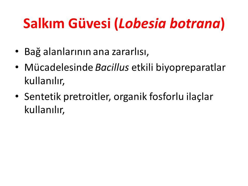 Salkım Güvesi (Lobesia botrana) Bağ alanlarının ana zararlısı, Mücadelesinde Bacillus etkili biyopreparatlar kullanılır, Sentetik pretroitler, organik