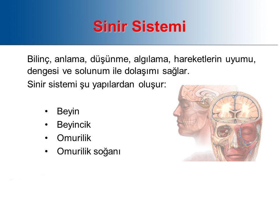 Sinir Sistemi Bilinç, anlama, düşünme, algılama, hareketlerin uyumu, dengesi ve solunum ile dolaşımı sağlar.