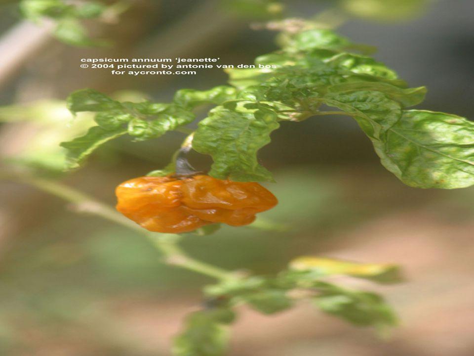 Tohumlar güneşli bir ortamda,yaklaşık 15C sıcaklık ve az nemli toprakta çiçeklenmeye başlar.Meyvelerin gelişebilmesi ve olgunlaşabilmesi için güneş ışınlığı zorunludur.