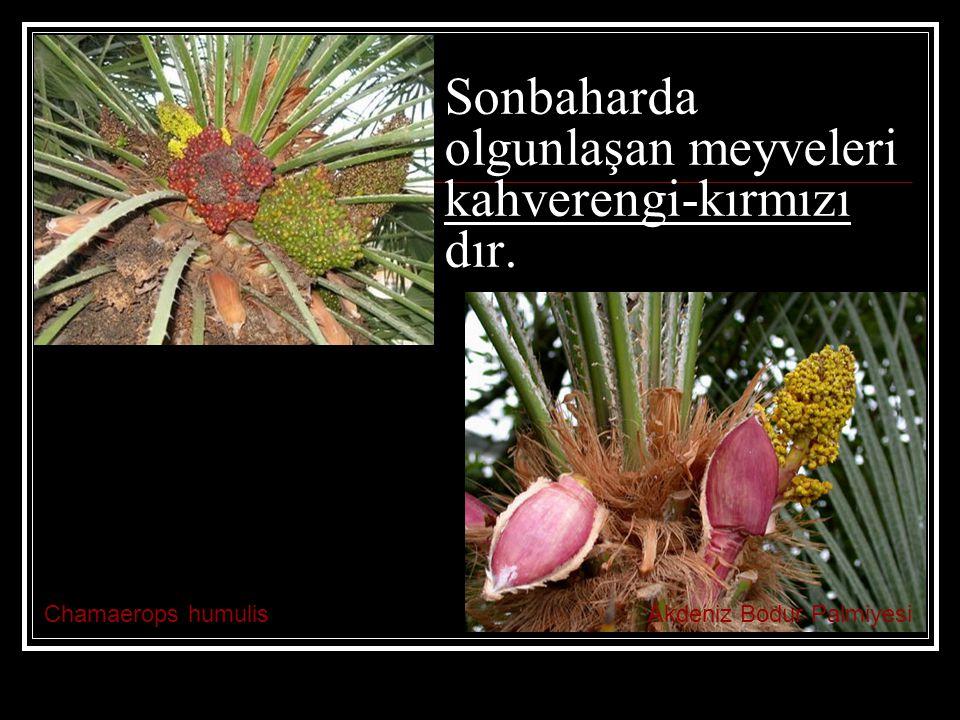 Chamaerops humulisAkdeniz Bodur Palmiyesi Sonbaharda olgunlaşan meyveleri kahverengi-kırmızı dır.