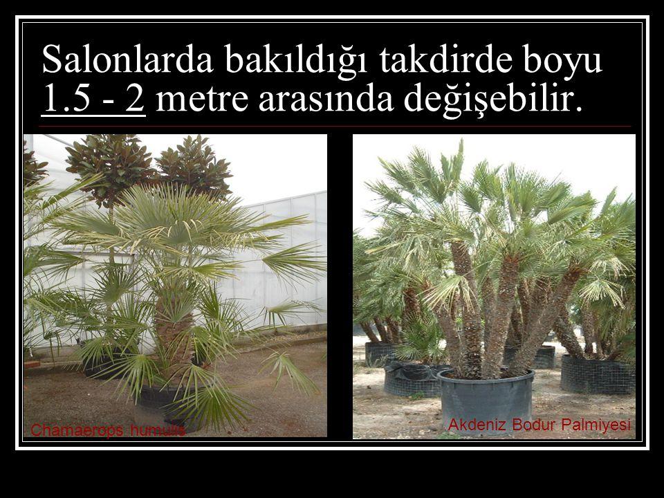 Salonlarda bakıldığı takdirde boyu 1.5 - 2 metre arasında değişebilir. Chamaerops humulis Akdeniz Bodur Palmiyesi