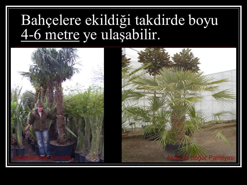 Bahçelere ekildiği takdirde boyu 4-6 metre ye ulaşabilir. Chamaerops humulisAkdeniz Bodur Palmiyesi