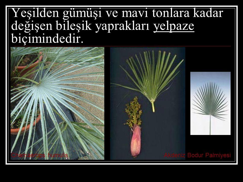 Yeşilden gümüşi ve mavi tonlara kadar değişen bileşik yaprakları yelpaze biçimindedir. Chamaerops humulisAkdeniz Bodur Palmiyesi