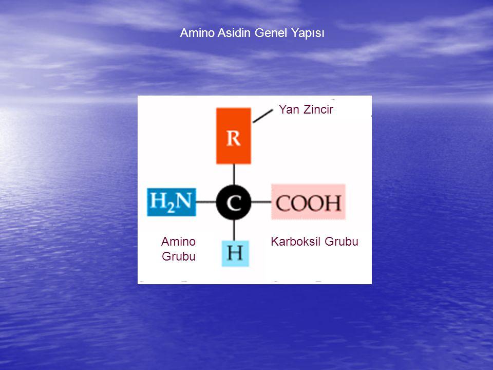 Amino Asidin Genel Yapısı Yan Zincir Karboksil GrubuAmino Grubu