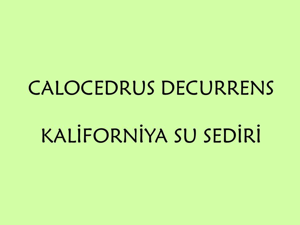 Alem: Plantae Bölüm: Pinophyta Sınıf : Pinopsida Takım : Pinales Cupressaceae Familya : Cupressaceae Cins : Calocedrus Calocedus Decurrens Tür : Calocedus Decurrens Kaliforniya Su Sediri Türkçe Adı : Kaliforniya Su Sediri