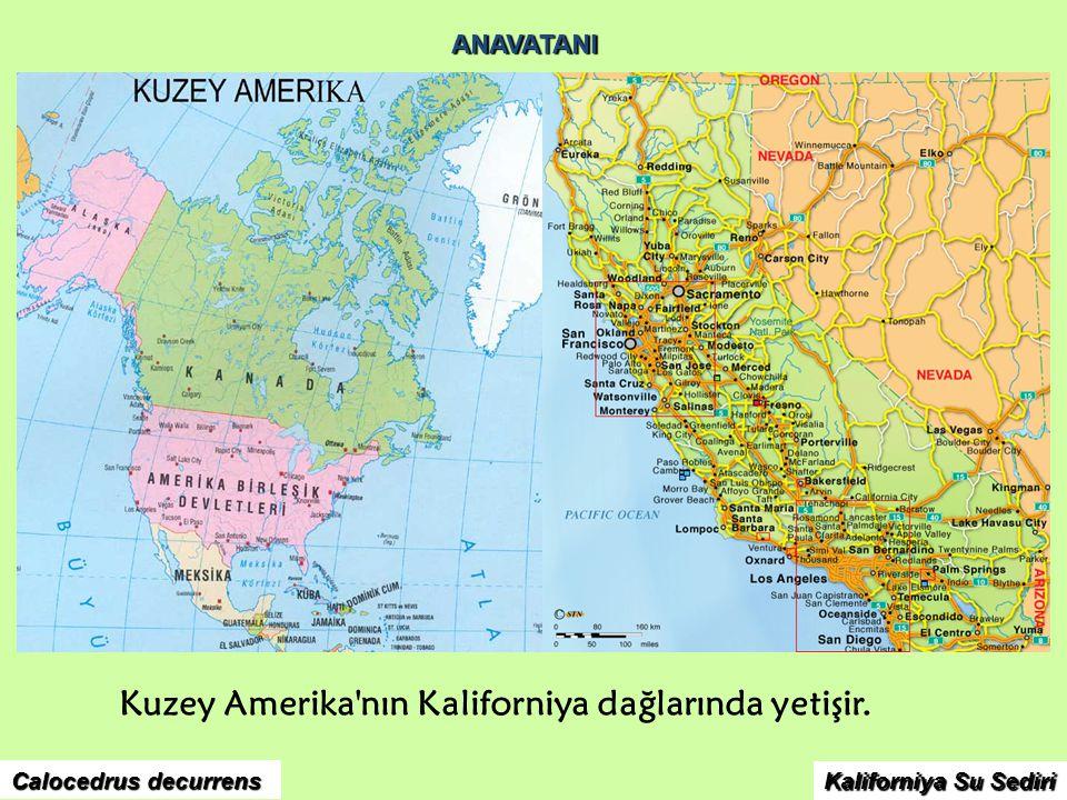 ANAVATANI Kuzey Amerika'nın Kaliforniya dağlarında yetişir. Calocedrus decurrens Kaliforniya Su Sediri