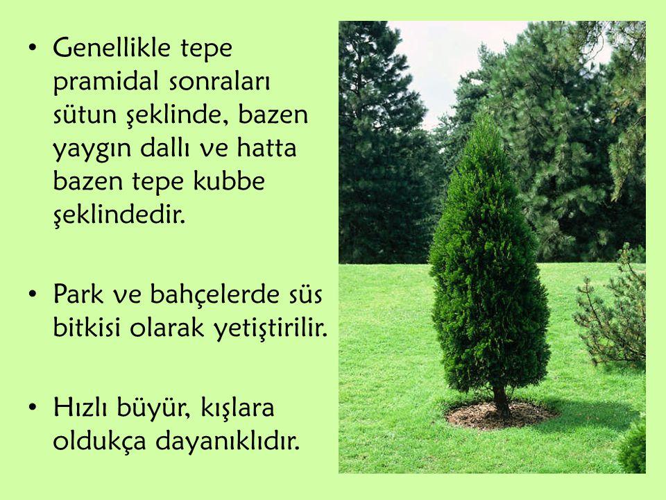 Genellikle tepe pramidal sonraları sütun şeklinde, bazen yaygın dallı ve hatta bazen tepe kubbe şeklindedir. Park ve bahçelerde süs bitkisi olarak yet