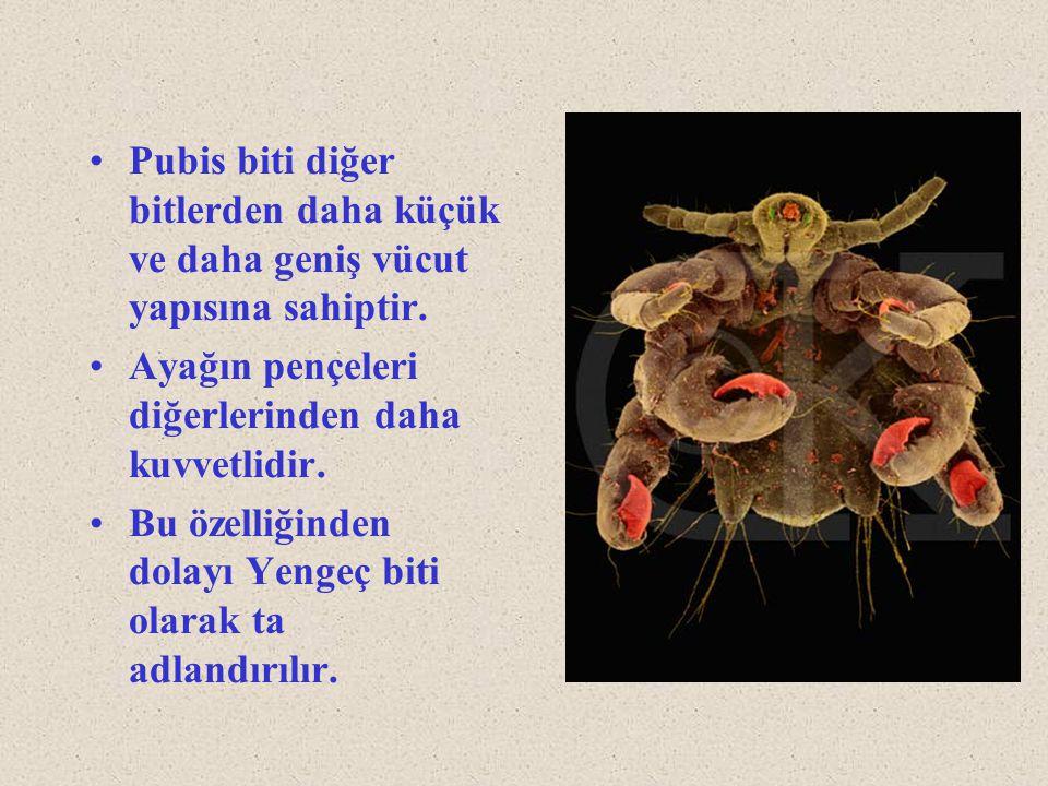 Pubis biti diğer bitlerden daha küçük ve daha geniş vücut yapısına sahiptir. Ayağın pençeleri diğerlerinden daha kuvvetlidir. Bu özelliğinden dolayı Y