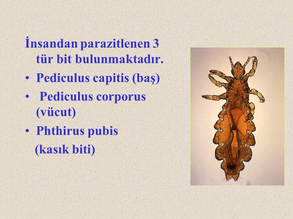 İnsandan parazitlenen 3 tür bit bulunmaktadır. Pediculus capitis (baş) Pediculus corporus (vücut) Phthirus pubis (kasık biti)