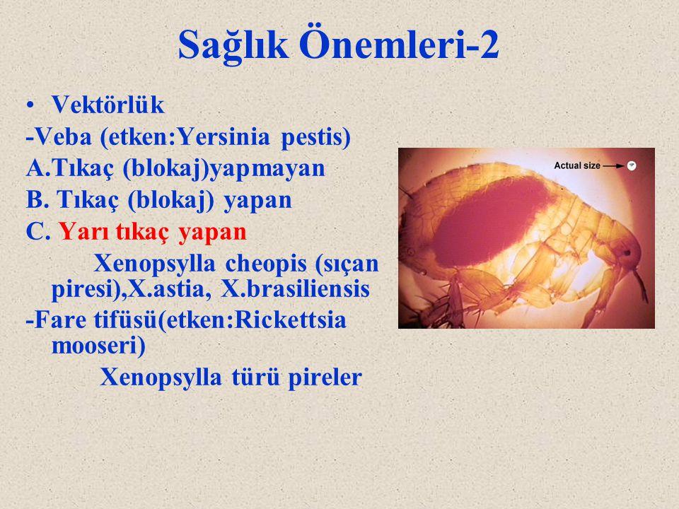 Sağlık Önemleri-2 Vektörlük -Veba (etken:Yersinia pestis) A.Tıkaç (blokaj)yapmayan B. Tıkaç (blokaj) yapan C. Yarı tıkaç yapan Xenopsylla cheopis (sıç