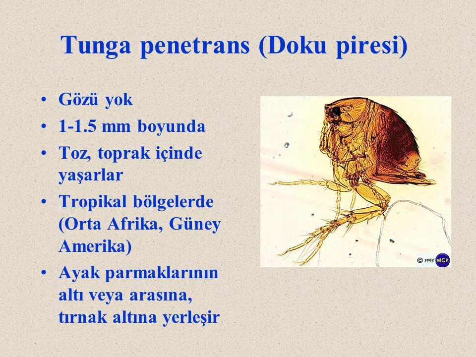 Tunga penetrans (Doku piresi) Gözü yok 1-1.5 mm boyunda Toz, toprak içinde yaşarlar Tropikal bölgelerde (Orta Afrika, Güney Amerika) Ayak parmaklarını