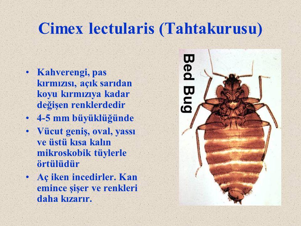 Cimex lectularis (Tahtakurusu) Kahverengi, pas kırmızısı, açık sarıdan koyu kırmızıya kadar değişen renklerdedir 4-5 mm büyüklüğünde Vücut geniş, oval