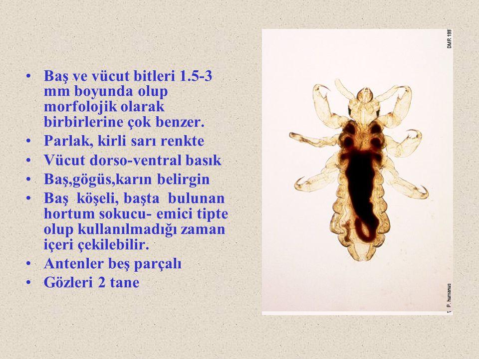Baş ve vücut bitleri 1.5-3 mm boyunda olup morfolojik olarak birbirlerine çok benzer. Parlak, kirli sarı renkte Vücut dorso-ventral basık Baş,gögüs,ka
