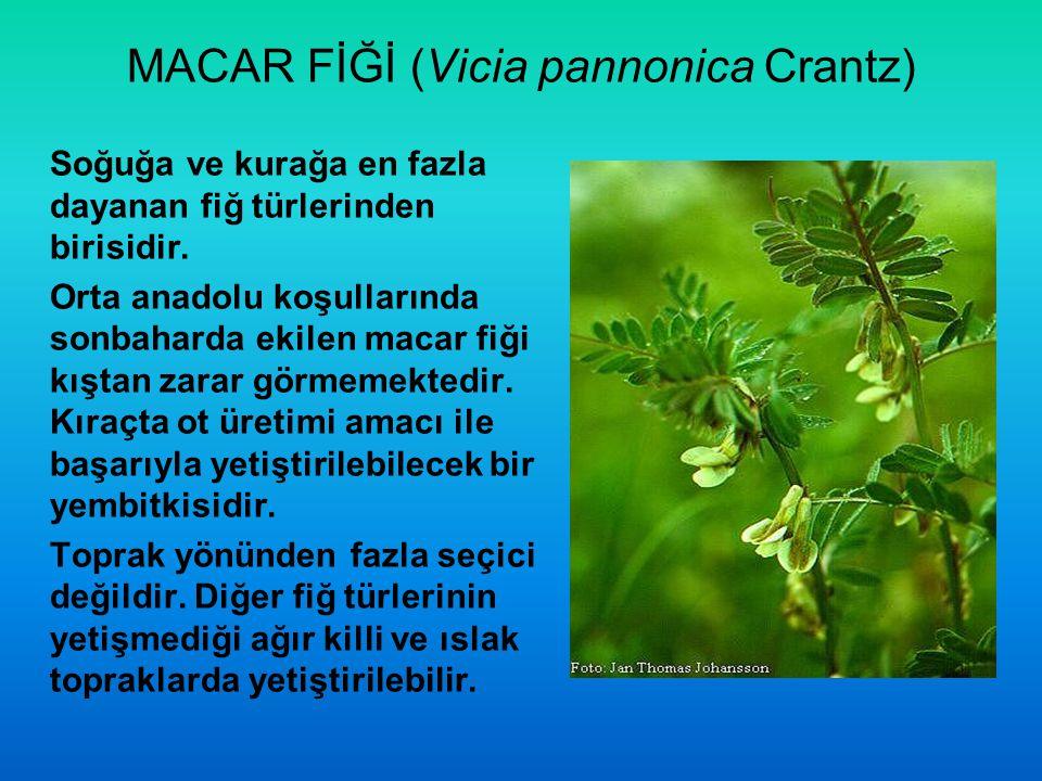 MACAR FİĞİ (Vicia pannonica Crantz) Soğuğa ve kurağa en fazla dayanan fiğ türlerinden birisidir. Orta anadolu koşullarında sonbaharda ekilen macar fiğ