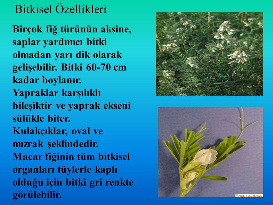 Birçok fiğ türünün aksine, saplar yardımcı bitki olmadan yarı dik olarak gelişebilir. Bitki 60-70 cm kadar boylanır. Yapraklar karşılıklı bileşiktir v