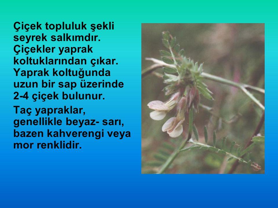 Çiçek topluluk şekli seyrek salkımdır. Çiçekler yaprak koltuklarından çıkar. Yaprak koltuğunda uzun bir sap üzerinde 2-4 çiçek bulunur. Taç yapraklar,