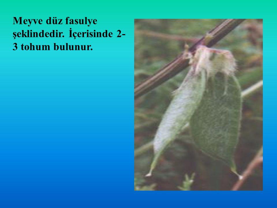 Meyve düz fasulye şeklindedir. İçerisinde 2- 3 tohum bulunur.
