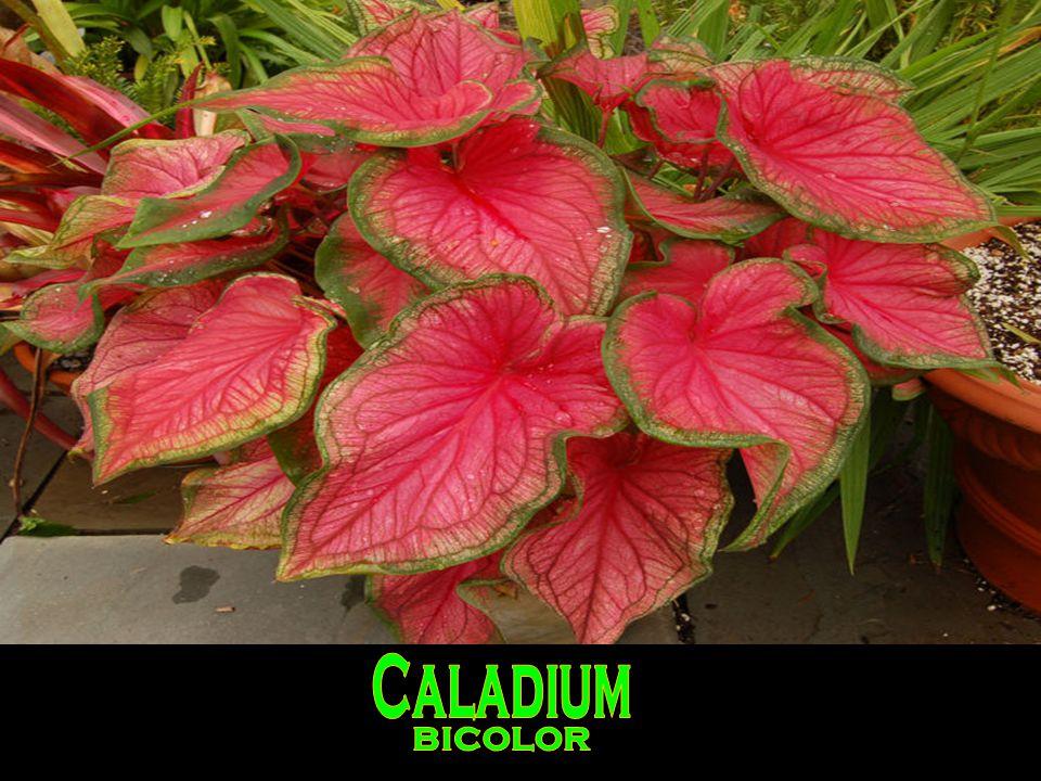 Caladium'lar yüksek hava ve toprak nemine gereksinimi olan bitkilerdir.Nemi düşük yerlerde yaprak uç ve kenarlarında kahverengi lekeler oluşur ve yapraklar içe doğru bükülür.