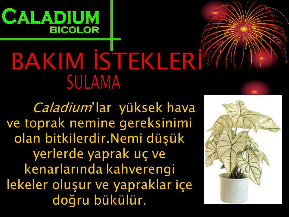 Caladium'lar yüksek hava ve toprak nemine gereksinimi olan bitkilerdir.Nemi düşük yerlerde yaprak uç ve kenarlarında kahverengi lekeler oluşur ve yapr