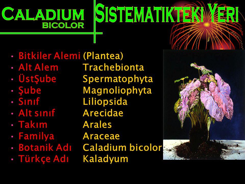Bitkiler Alemi (Plantea) Alt Alem Trachebionta ÜstŞube Spermatophyta Şube Magnoliophyta Sınıf Liliopsida Alt sınıf Arecidae Takım Arales Familya Arace