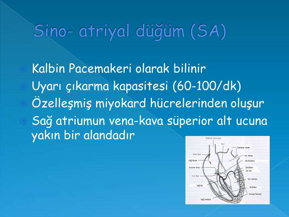  Kalbin Pacemakeri olarak bilinir  Uyarı çıkarma kapasitesi (60-100/dk)  Özelleşmiş miyokard hücrelerinden oluşur  Sağ atriumun vena-kava süperior alt ucuna yakın bir alandadır