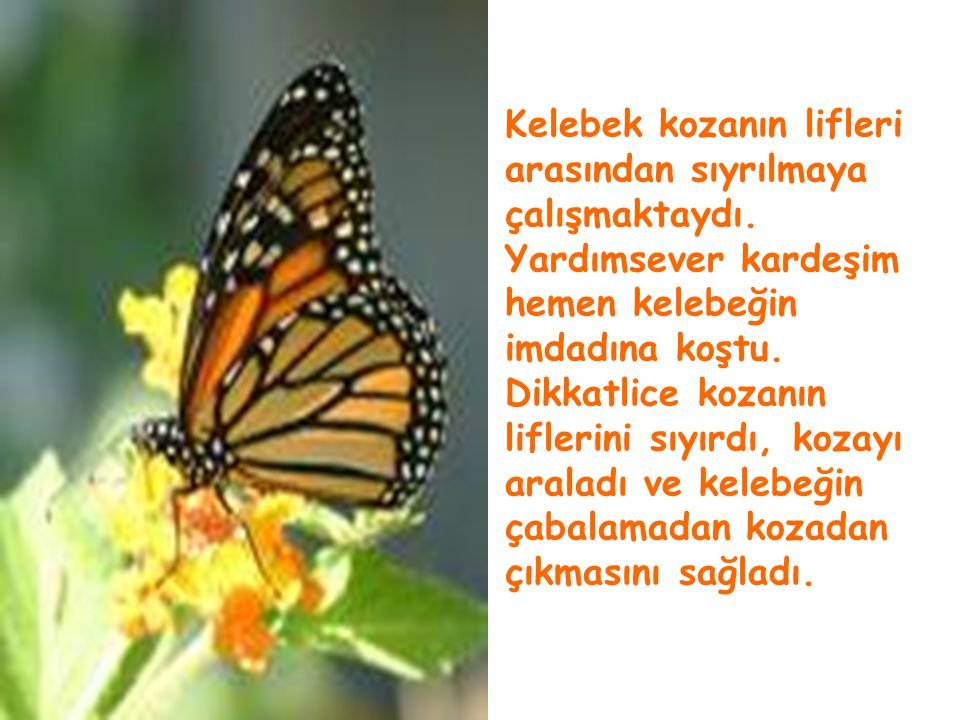 İyi niyetli ve yardımsever bir arkadaşımla bir gün doğada gezinirken kozasından çıkmaya çalışan bir kelebek gördük.