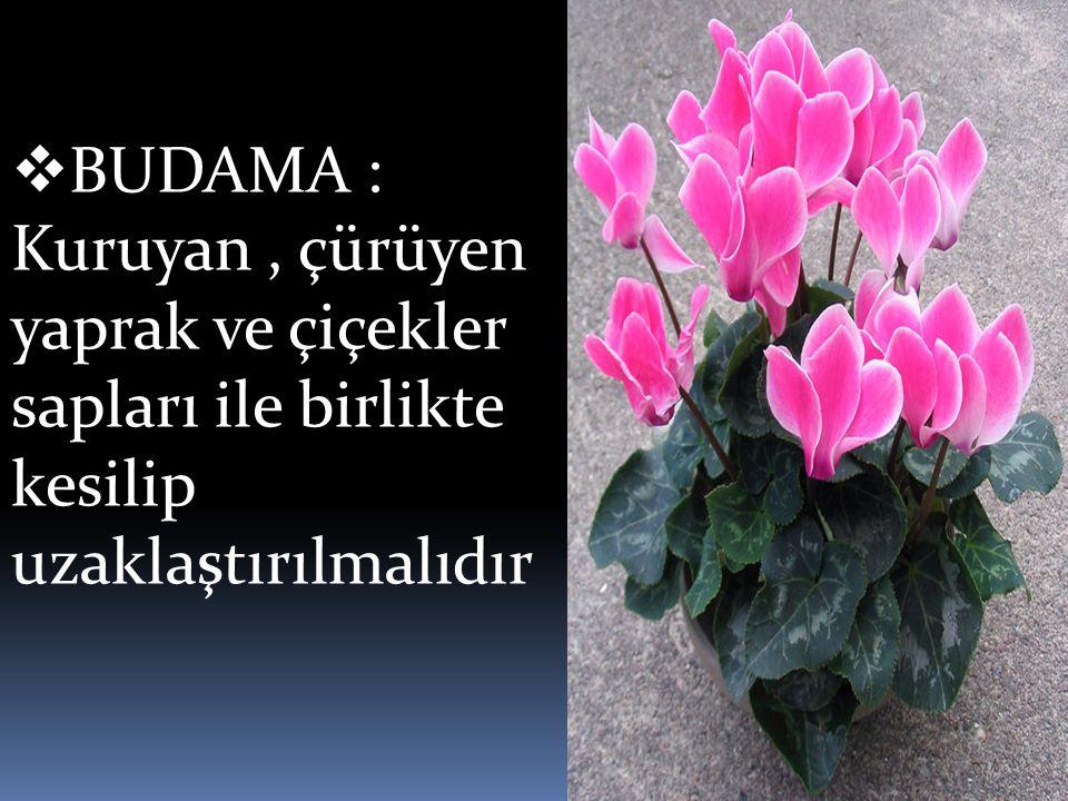  BUDAMA : Kuruyan, çürüyen yaprak ve çiçekler sapları ile birlikte kesilip uzaklaştırılmalıdır