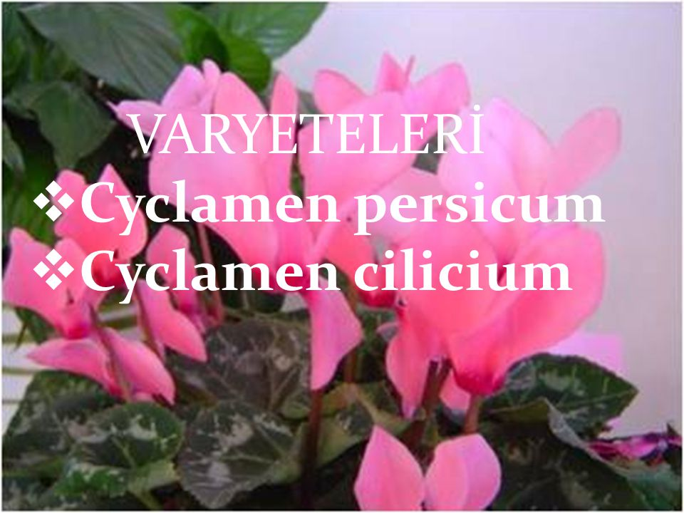 VARYETELERİ Cyclamen persicum Cyclamen cilicium VARYETELERİ  Cyclamen persicum  Cyclamen cilicium