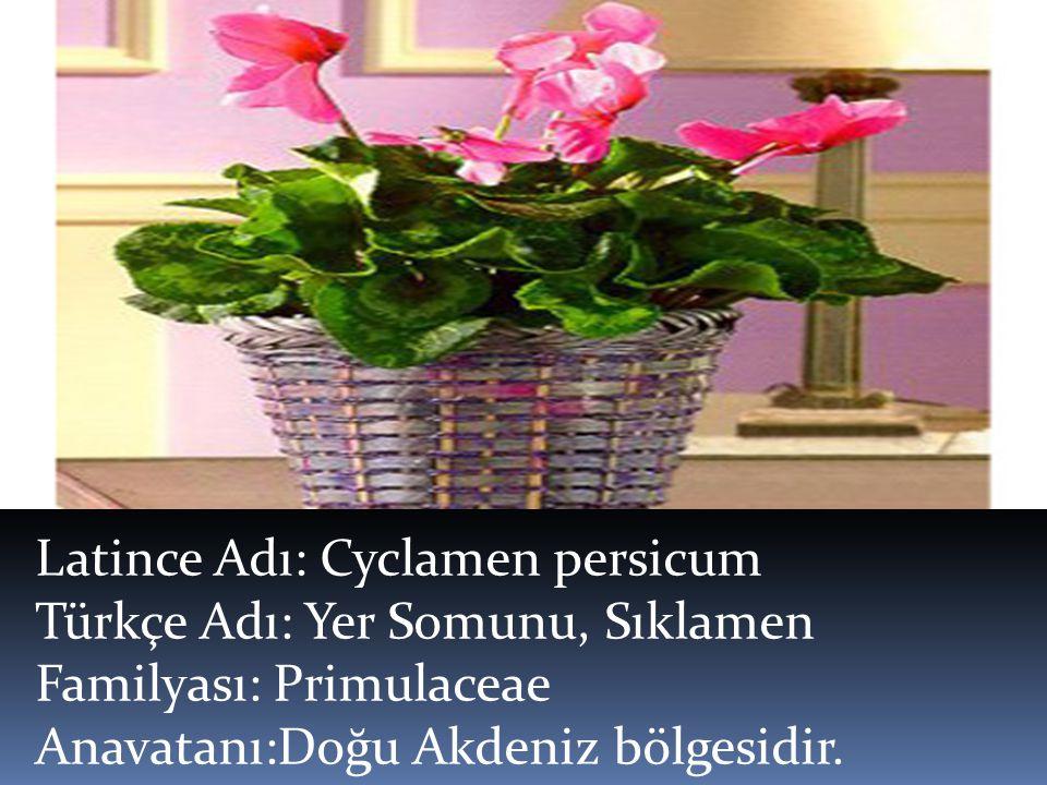 Latince Adı: Cyclamen persicum Türkçe Adı: Yer Somunu, Sıklamen Familyası: Primulaceae Anavatanı:Doğu Akdeniz bölgesidir.