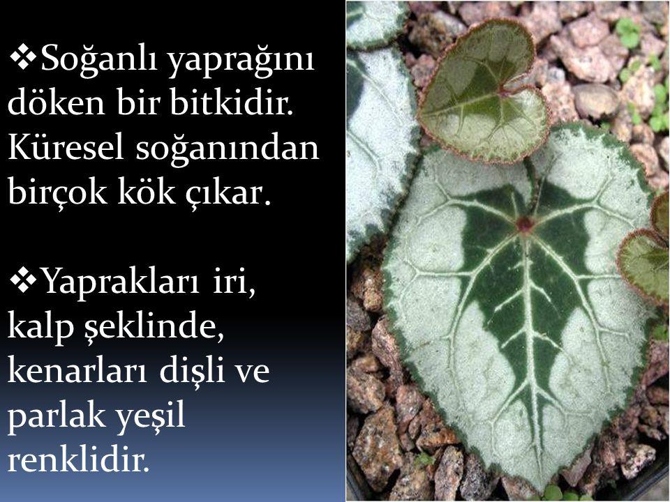  Soğanlı yaprağını döken bir bitkidir. Küresel soğanından birçok kök çıkar.  Yaprakları iri, kalp şeklinde, kenarları dişli ve parlak yeşil renklidi