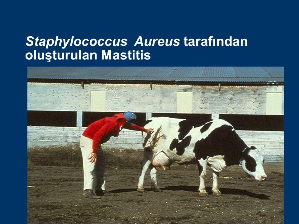 Staph Aureus Mastitisi Staph aureus: Çok sık görülen bulaşıcı bir patojen olup bir şekilde ortam kaynaklı patojen sayılabilir.