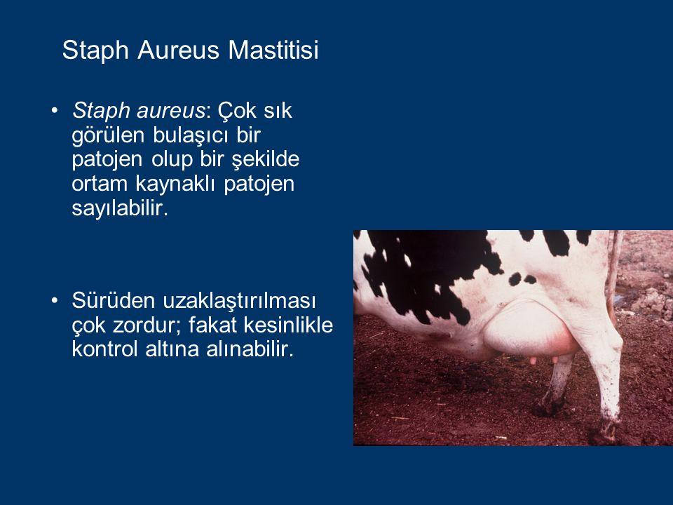 Staph Aureus Mastitisi Staph aureus enfeksiyonlarının olağan kaynakları: Enfekte memeler Kontamine olmuş altlıklar Sağımcı ve ineğin kontamine olmuş derisi Staph aureus'un yayılmasına neden olan başlıca aracılar: Sağımcının elleri Meme temizleme bezleri Sağım ekipmanı