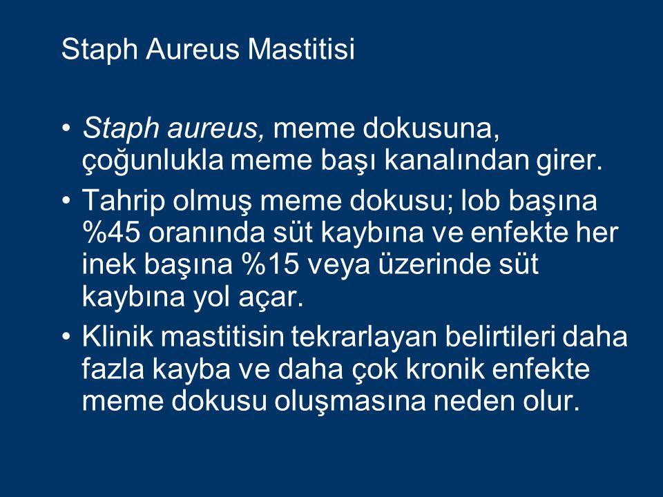 Staph Aureus Mastitisi Staph aureus meme içi enfeksiyonu Somatik Hücre Sayımı'nda artışa neden olur.