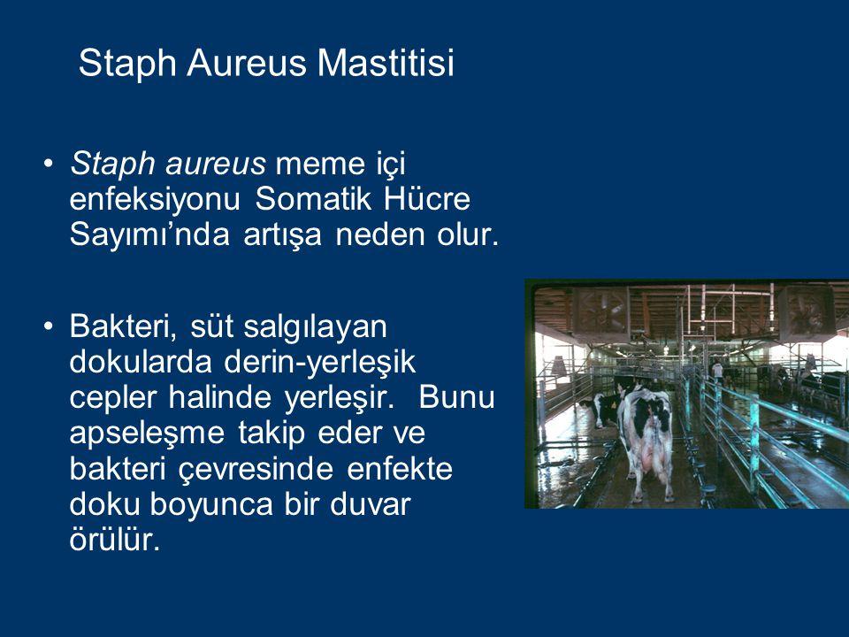 Staph Aureus Mastitisi Her yeni klinik vaka ile Staph aureus meme dokusunda açığa çıkarak (yayılarak), pek çok küçük apseler meydana getirmek suretiyle meme dokusunda geri dönülemeyen doku tahribatına yol açar.