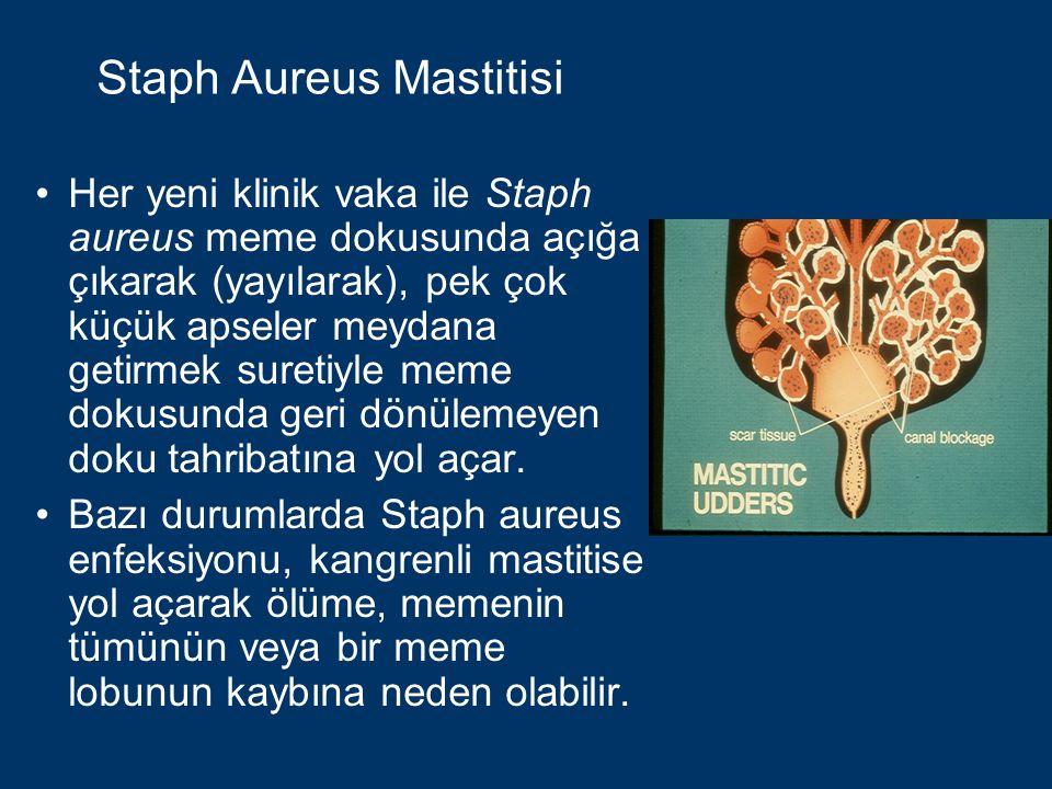 Staph Aureus Mastitisinin Kontrolü Kültür yapılarak Staph aureus belirlenir: Hastaları ayırın, En son sağın veya Sürüden çıkarın.
