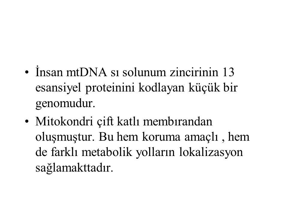 İnsan mtDNA sı solunum zincirinin 13 esansiyel proteinini kodlayan küçük bir genomudur. Mitokondri çift katlı membırandan oluşmuştur. Bu hem koruma am