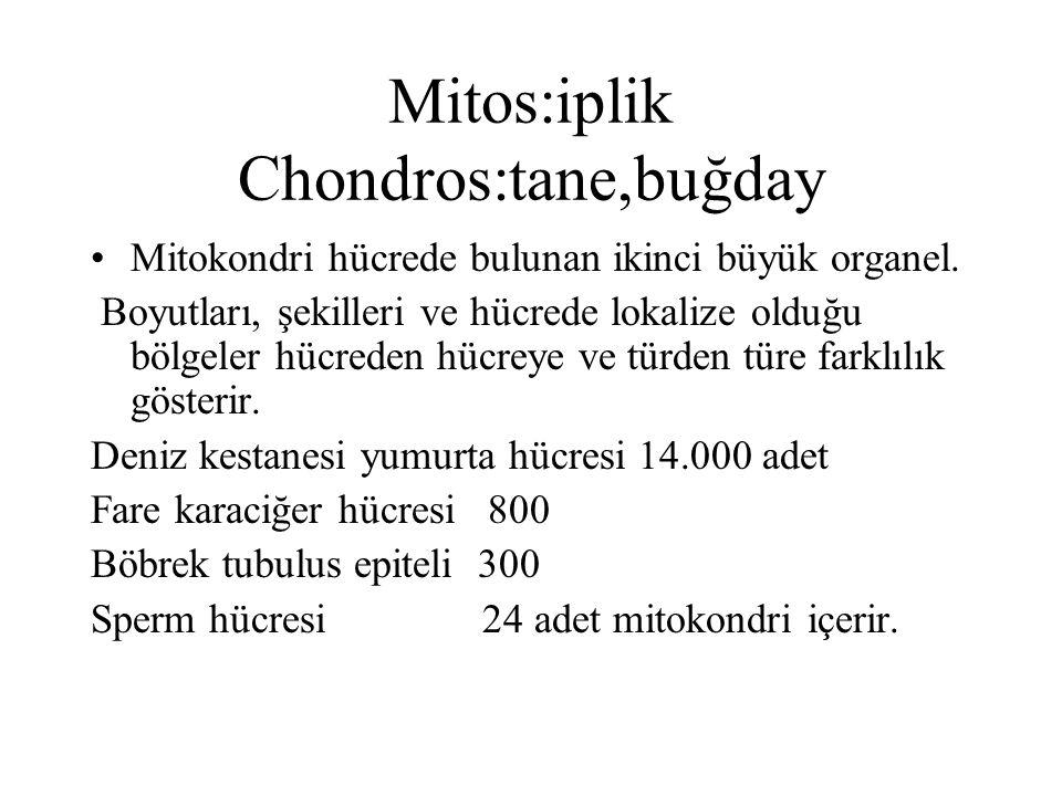 Mitos:iplik Chondros:tane,buğday Mitokondri hücrede bulunan ikinci büyük organel. Boyutları, şekilleri ve hücrede lokalize olduğu bölgeler hücreden hü