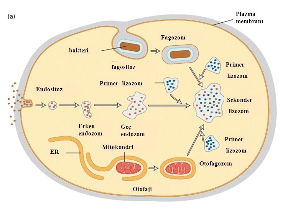 bakteri fagositoz Fagozom Endositoz Primer lizozom Primer lizozom Primer lizozom Sekonder lizozom Erken endozom Geç endozom Mitokondri ER Otofaji Otofagozom Plazma membranı