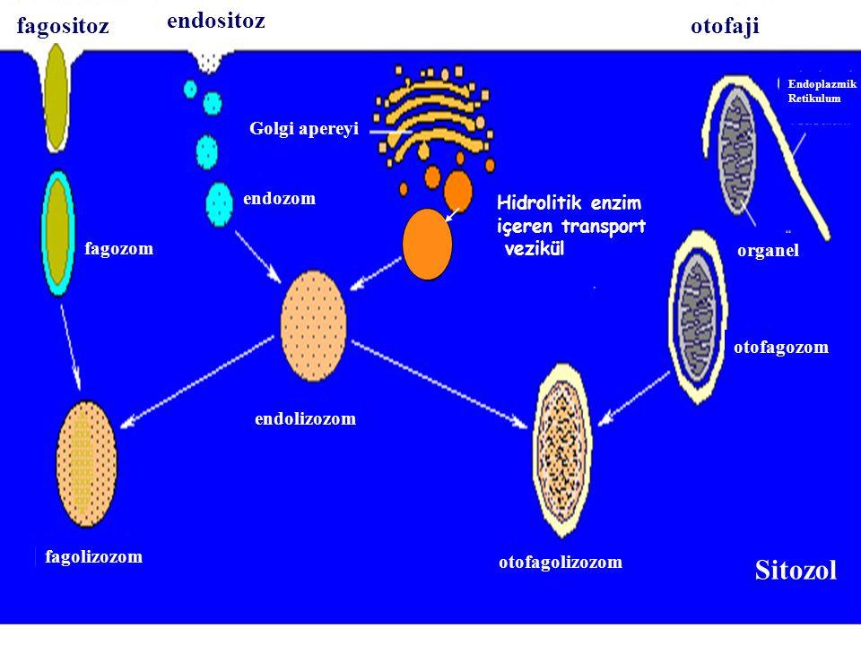 fagozom fagolizozom otofagolizozom Golgi apereyi endozom otofagozom endolizozom Endoplazmik Retikulum organel Sitozol Hidrolitik enzim içeren transport vezikül fagositoz endositoz otofaji