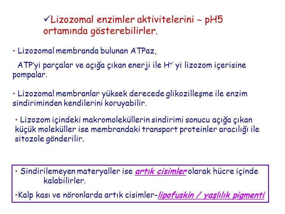 Lizozomal enzimler aktivitelerini  pH5 ortamında gösterebilirler. Lizozomal membranda bulunan ATPaz, ATP'yi parçalar ve açığa çıkan enerji ile H +' y
