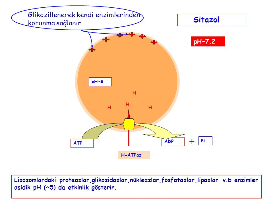 HH H H pH~5 pH~7.2 Sitazol ATP ADP + Pi H-ATPaz Lizozomlardaki proteazlar,glikozidazlar,nükleazlar,fosfatazlar,lipazlar v.b enzimler asidik pH (~5) da etkinlik gösterir.