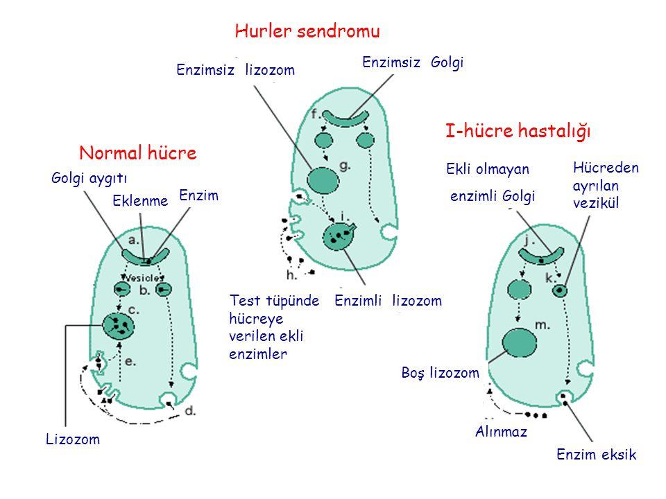 Normal hücre Hurler sendromu I-hücre hastalığı Lizozom Golgi aygıtı Enzim Enzimsiz lizozom Enzimsiz Golgi Eklenme Boş lizozom Enzimli lizozom Hücreden