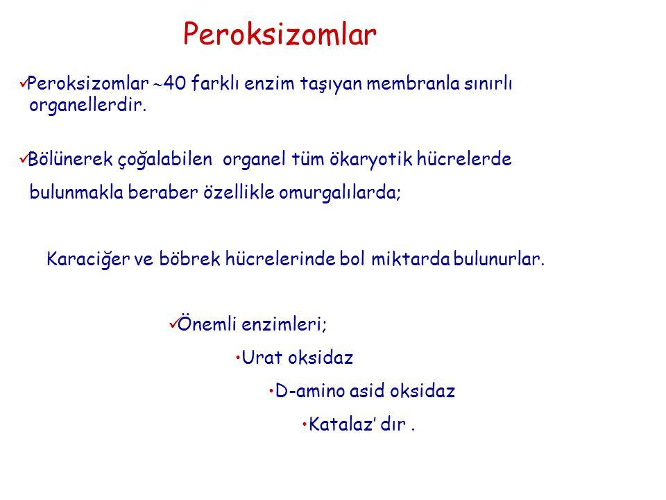 Peroksizomlar Peroksizomlar  40 farklı enzim taşıyan membranla sınırlı organellerdir. Bölünerek çoğalabilen organel tüm ökaryotik hücrelerde bulunmak