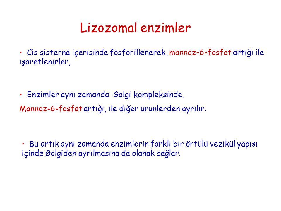 Cis sisterna içerisinde fosforillenerek, mannoz-6-fosfat artığı ile işaretlenirler, Lizozomal enzimler Enzimler aynı zamanda Golgi kompleksinde, Manno