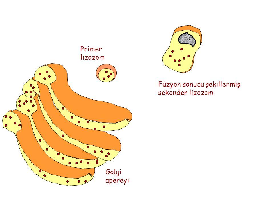 Golgi apereyi Primer lizozom Füzyon sonucu şekillenmiş sekonder lizozom