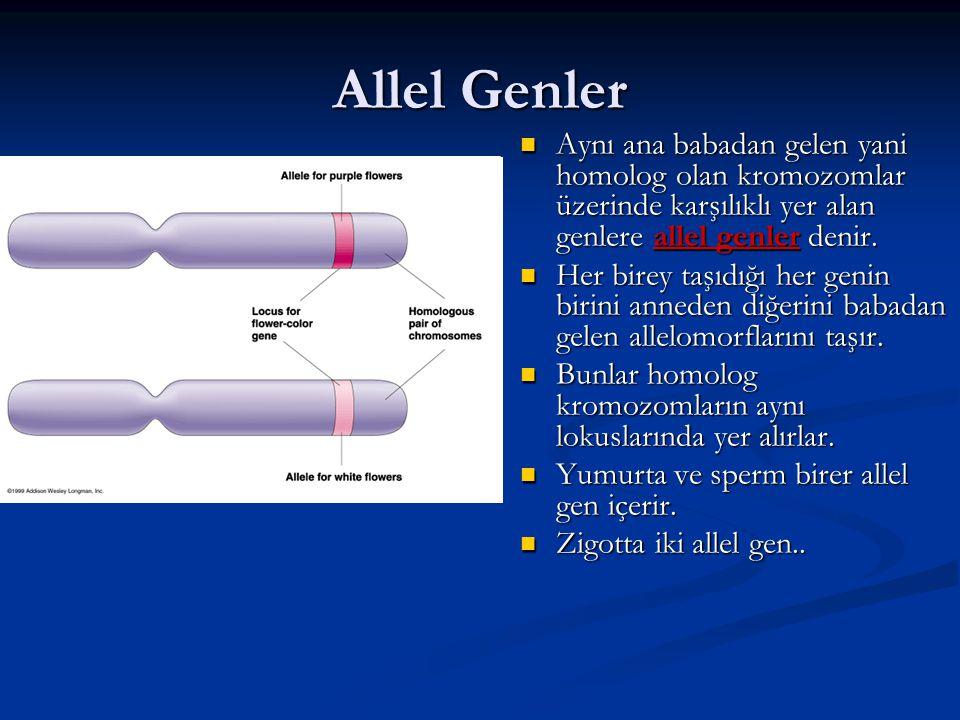 Allel Genler Aynı ana babadan gelen yani homolog olan kromozomlar üzerinde karşılıklı yer alan genlere allel genler denir. Aynı ana babadan gelen yani