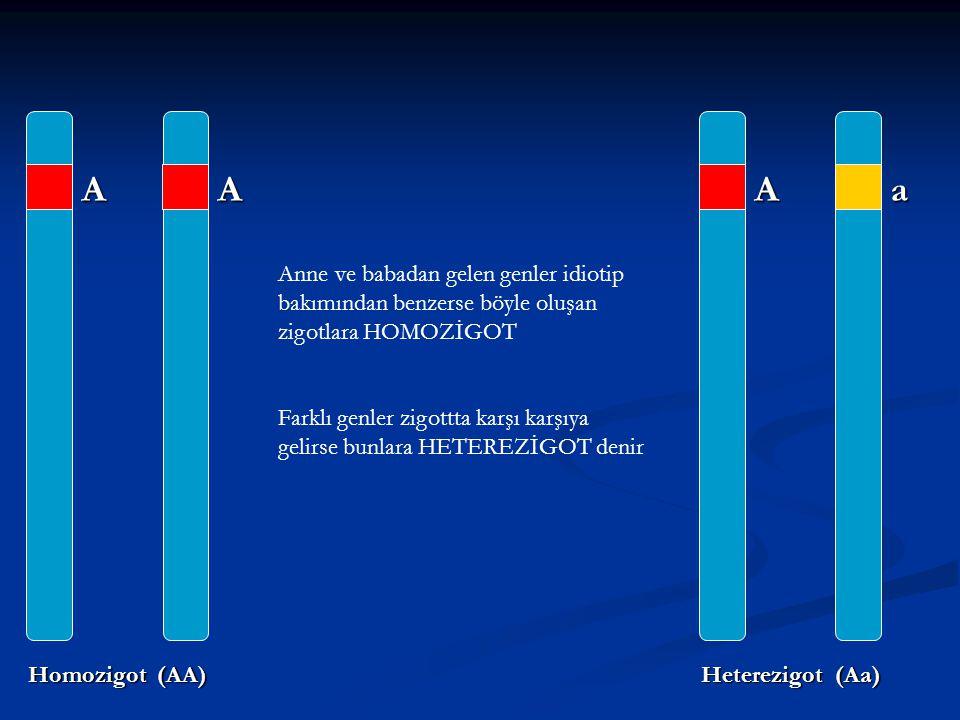AA Homozigot (AA) Aa Heterezigot (Aa) Anne ve babadan gelen genler idiotip bakımından benzerse böyle oluşan zigotlara HOMOZİGOT Farklı genler zigottta
